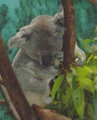 Koala Zoo Madrid.jpg